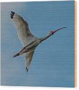 White Ibis In Flight Wood Print