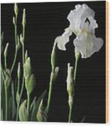 White Iris In Black Of Night Wood Print
