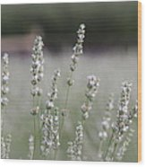 White Lavender Wood Print