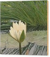 White Lily Near Pond Grass Wood Print