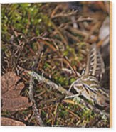 White-lined Sphinx Moth Wood Print