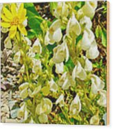 White Locoweed On Highline Trail In Glacier National Park-montana Wood Print