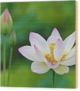 White Lotus Flower And Buds Wood Print