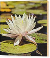 White Lotus Flower In Lily Pond Wood Print by Susan Schmitz