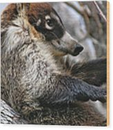 White-nosed Coati 3 Wood Print