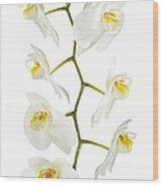 White Orchid-4783 Wood Print