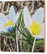 White Pasque Flower Wood Print