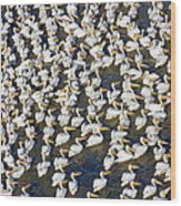 White Pelican Party Wood Print