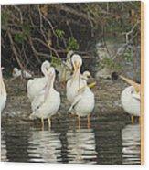White Pelicans Grooming Wood Print