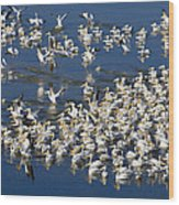 White Pelicans On Blue Wood Print
