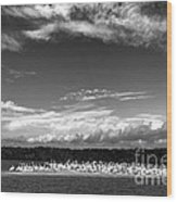 White Pelicans On Island In The Everglades Wood Print