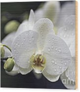 White Phalaenopsis With Water Drops 5797 Wood Print