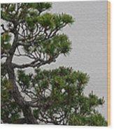 White Pine Bonsai Wood Print