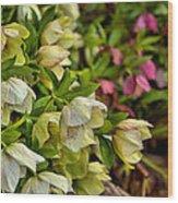 White/pink Lenten Roses Wood Print