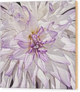 White Purple Dahlia Wood Print