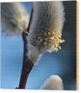 White Pussy Willow In Bloom Wood Print