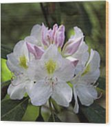 White Rhododendren Wood Print