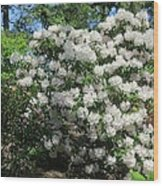 White Rhododendron Blooming In The Garden Wood Print
