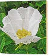 White Rose At Norris Point In Gros Morne National Park-newfoundland  Wood Print