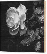 White Rose Full Bloom Wood Print