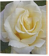 White Rose Named Ray Of Sun Wood Print