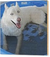 White Siberian Husky In Pool Wood Print