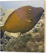 White Spotted Filefish Wood Print