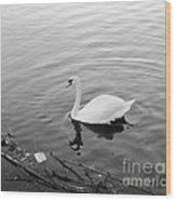 White Swan Solitary Wood Print