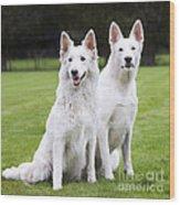 White Swiss Shepherd Dogs Wood Print