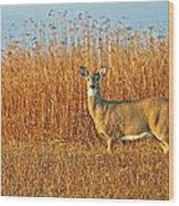 White Tailed Deer In Morning Light Wood Print