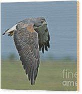 White-tailed Hawk Wood Print