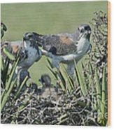 White-tailed Hawk Family Wood Print