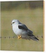 White Tailed Kite Wood Print