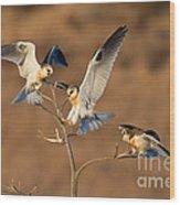 White-tailed Kite Trio Wood Print