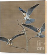 White-tailed Kite Young Wood Print