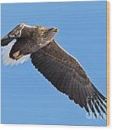 White-tailed Sea Eagle Soars Wood Print