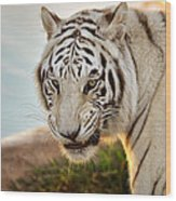 White Tiger At Sunrise Wood Print