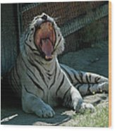 White Tiger Reno Nv 3 Wood Print