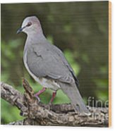 White-tipped Dove Wood Print