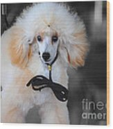 White Toy Poodle Wood Print