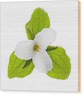 White Trillium Flower  Wood Print by Elena Elisseeva
