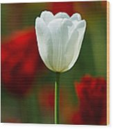 White Tulip - Featured 3 Wood Print