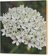 White Umbel Wood Print
