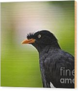 White Vented Myna Bird With Feathers Standing Above Beak Wood Print