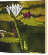 White Water Lily Wood Print by Julio Solar