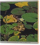white waterlily - Nymphaea odorata - 09SE04 Wood Print