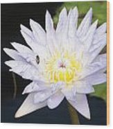 White Waterlily With Fly...   # Wood Print