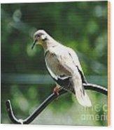 White Winged Dove Wood Print