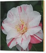 White With Pink Camellia Wood Print