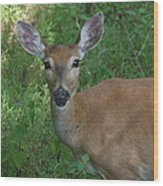 Whitetail Portrait In Valley Forge National Park Wood Print